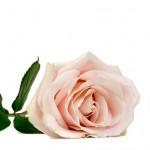 UNE ROSE EN SOUVENIR